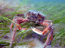 Seagrass spider crab